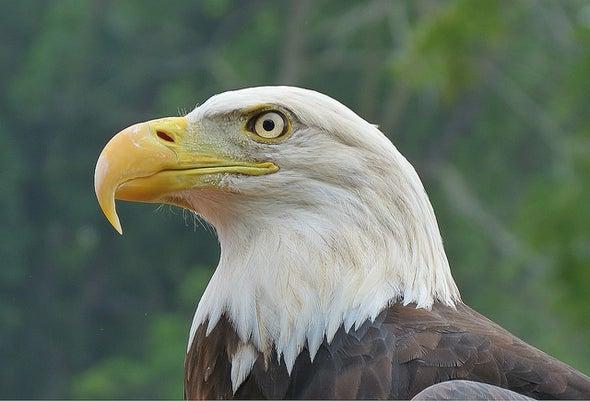 Bald Eagles Prove Full of Flame Retardants