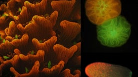 For coral larvae, green means stop, red means go