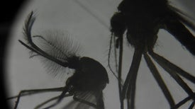 Gene Drive Moratorium Shot Down at UN Meeting