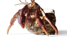 Hermit Crabs Trade Up by Exchanging Shells in Queue