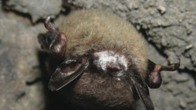 Night Stalker: White-Nose Fungus in Bats--Why It's Our Problem, Too