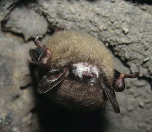 Night Stalker White Nose Fungus In Bats Why It S Our Problem