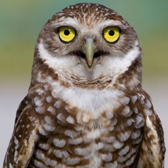 Can the Burrowing Owl Population Rebound in North America?