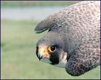 New Potential Threat for Peregrine Falcons