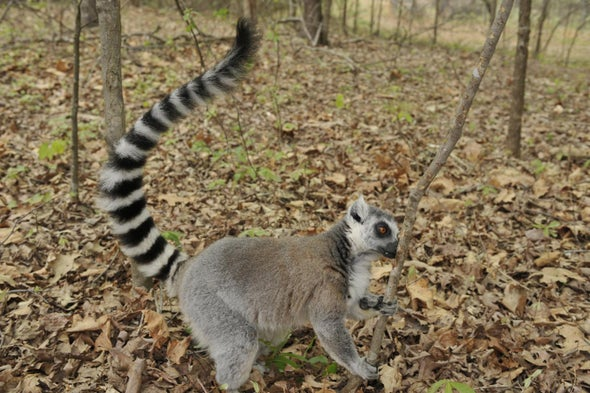 Male Lemurs Are Masters of Musk